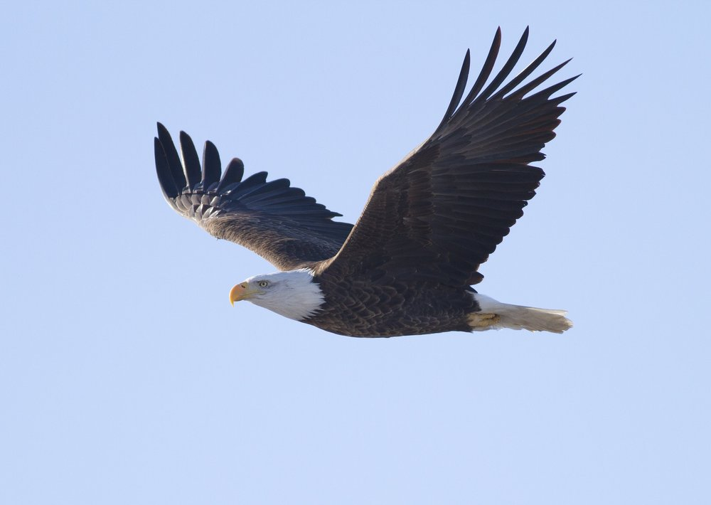 Illinois claims to have more wintering bald eagles annually than any state other than Alaska. (Wikimedia Commons/Steve Berardi)