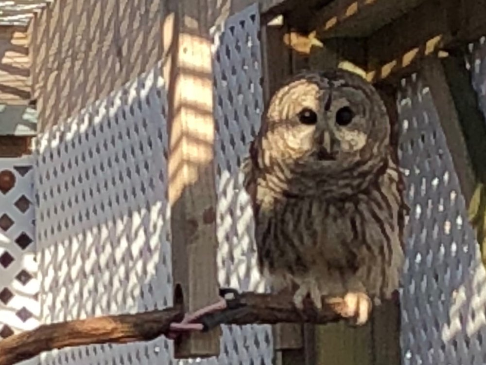 Vision problems keep this barred owl from being released back into the wild. It's a permanent resident at TreeHouse Wildlife Center. (One Illinois/Ted Cox)