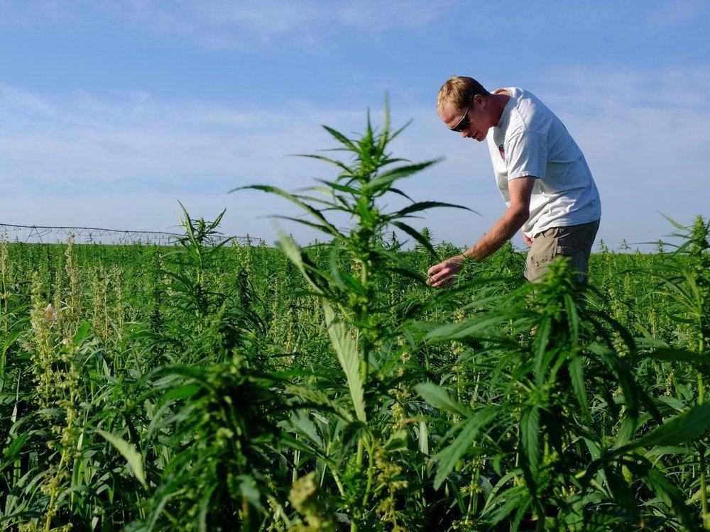 A farmer tends to hemp. It might look like marijuana, but it's not. (Flickr)