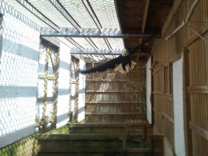 A bald eagle tests its wings in one of the flight cages used for rehabilitation at the TreeHouse Wildlife Center. (Facebook/TreeHouse Wildlife Center)