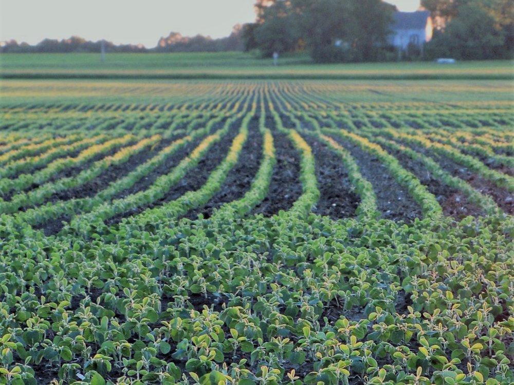 An early season Illinois soybean field. (Shutterstock)