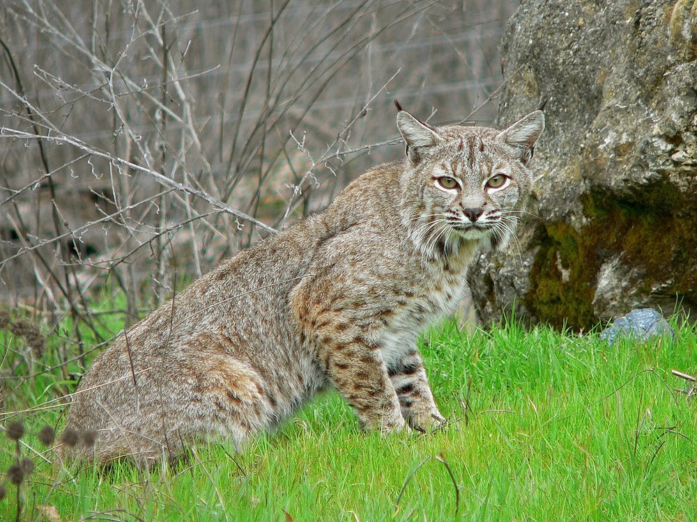 A bobcat photographed in California. They've made enough of a comeback in Illinois for a hunting season to be reopened, but it remains controversial for wildlife groups. (Wikimedia Commons)