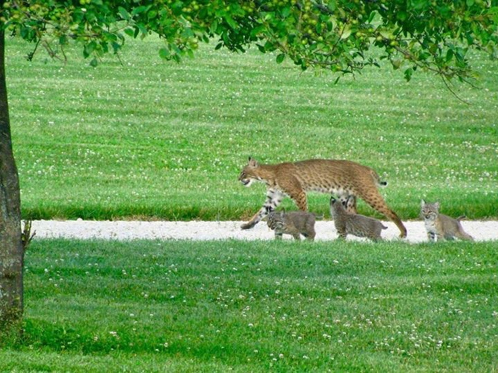 A bobcat mother with a litter of three. (Facebook/Illinois Bobcat Foundation/Bob Wittevrongel)