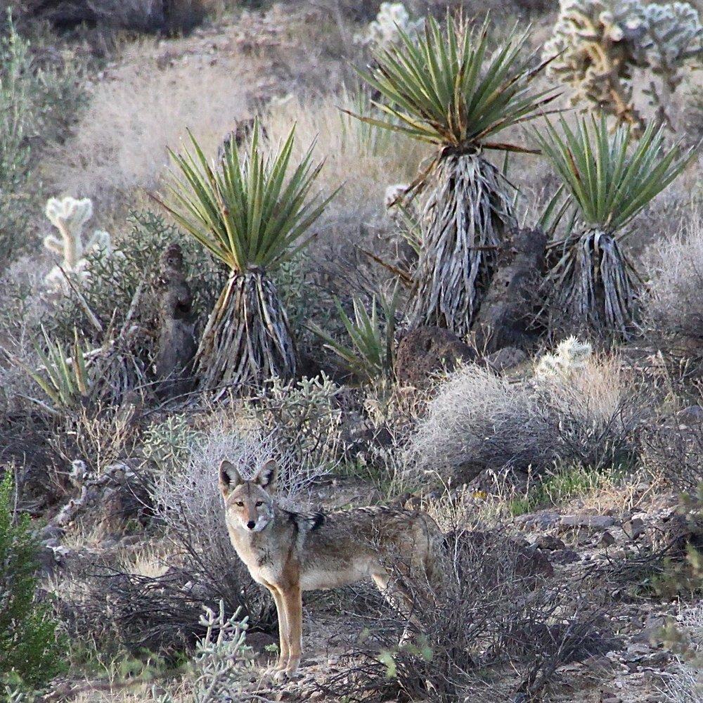 Coyote Watching.jpg