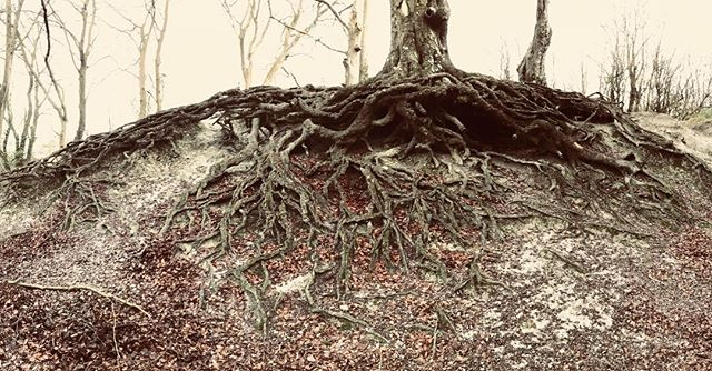 Stunning root system on this beautiful old woodland beech found while walking the dogs! #fagussylvatica #beech #rootsystem #treeroots #natureisamazing #lovemydogs #outdoorslife