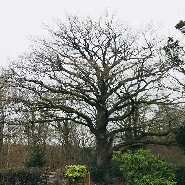 This was back on the first day back to work after Christmas, and a great way to start it was! A deadwood on a large mature oak over the driveway, road and footpath, and removed a large failed limb that had come to rest on the tennis court fence. #oldfieldtreeservices #treesurgery #treefailure #arborist #treesurgeon #treeclimbing #quercusrobur #oaktree
