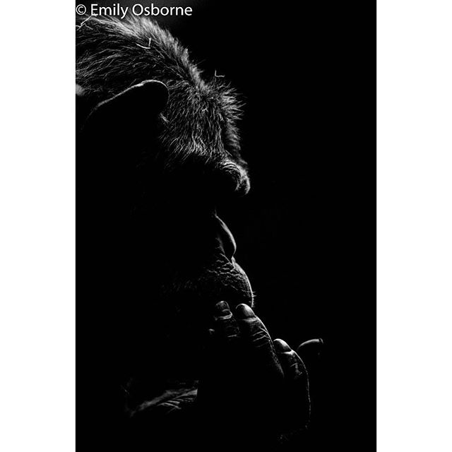 Apes share 98% of the same DNA as us humans 💜  shoot for my major project in my final year degree course!  #apes #chimpanzee #photographer #photography #photooftheday #wildlifephotography #zoophotography #monkey #silhoutte #highkey #blackandwhite #natural #endangeredspecies #nationalgeographic @nationalgeographicpictures @natgeo #zoo #conservation #canon #canonphotography #canonphoto @canonuk