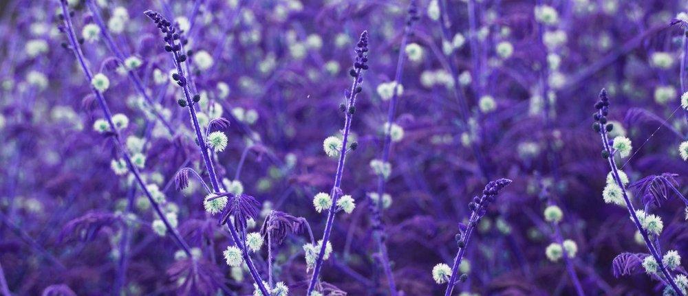 Image: Field of purple flowers.