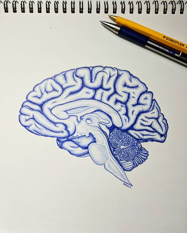 It's amazing the things you can recall and relearn when you draw. Going through this sketch was like teaching neuroanatomy all over again. It has been quite the journey 🖊️ . . . . . #neuroanatomy #neuroscience #anatomy #anatomydrawing #sciart #medart #hamont #illustration #surgery #science #biology #lab #lablife #ballpointpen #phd #gradstudent #research #beauty  #mystaedtler #staedtler #zebrapen #ink #art #artist #illustrator #bodyart #medicine #medical #medschool #ymanatomy