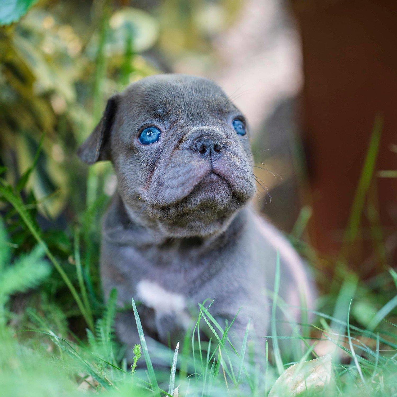 Puppy Diarrhea Explained | NW Frenchies French Bulldog