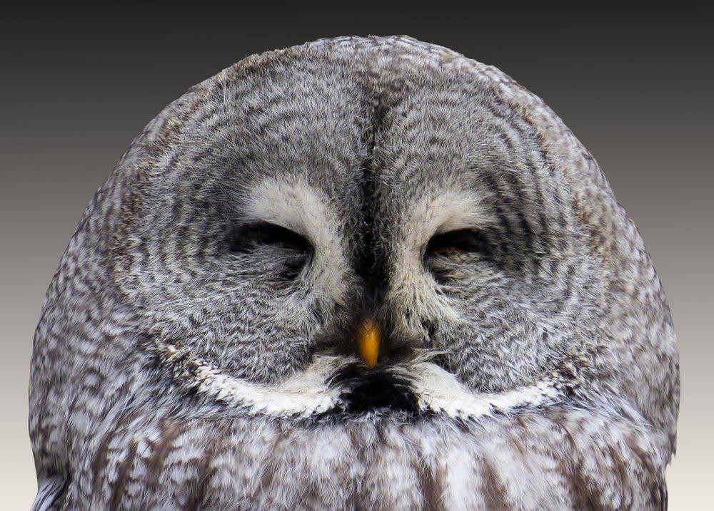 animal-bird-owl-48155.jpg