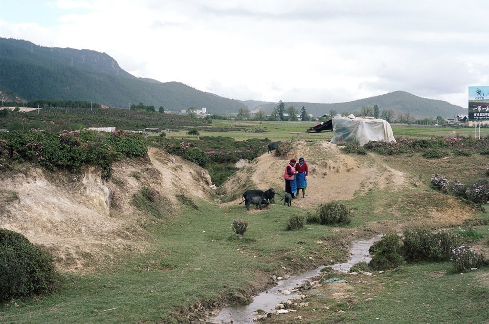 dali, yunnan. a scenic rural landscape featuring two farmers and their pigs.