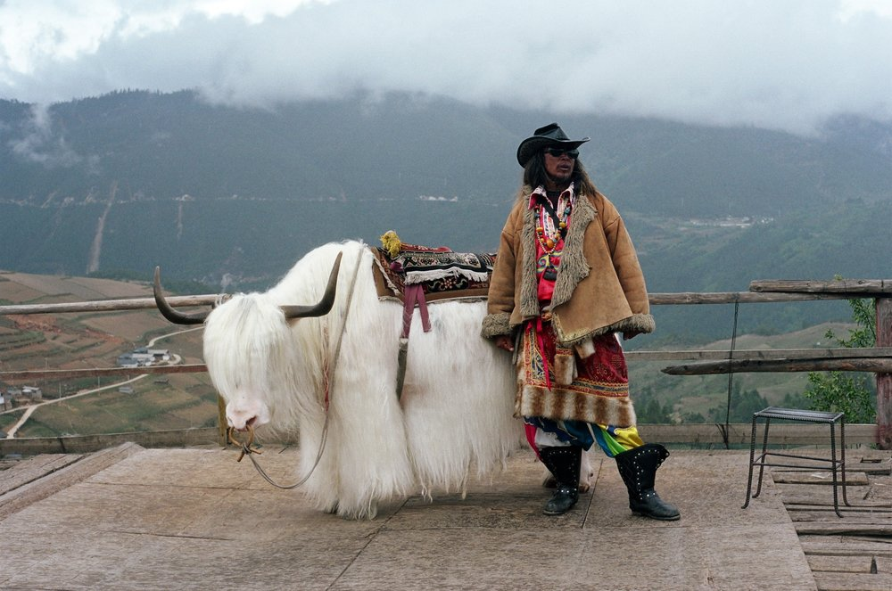 shangri-la, yunnan. a tibetan herder sings alongside his yak.