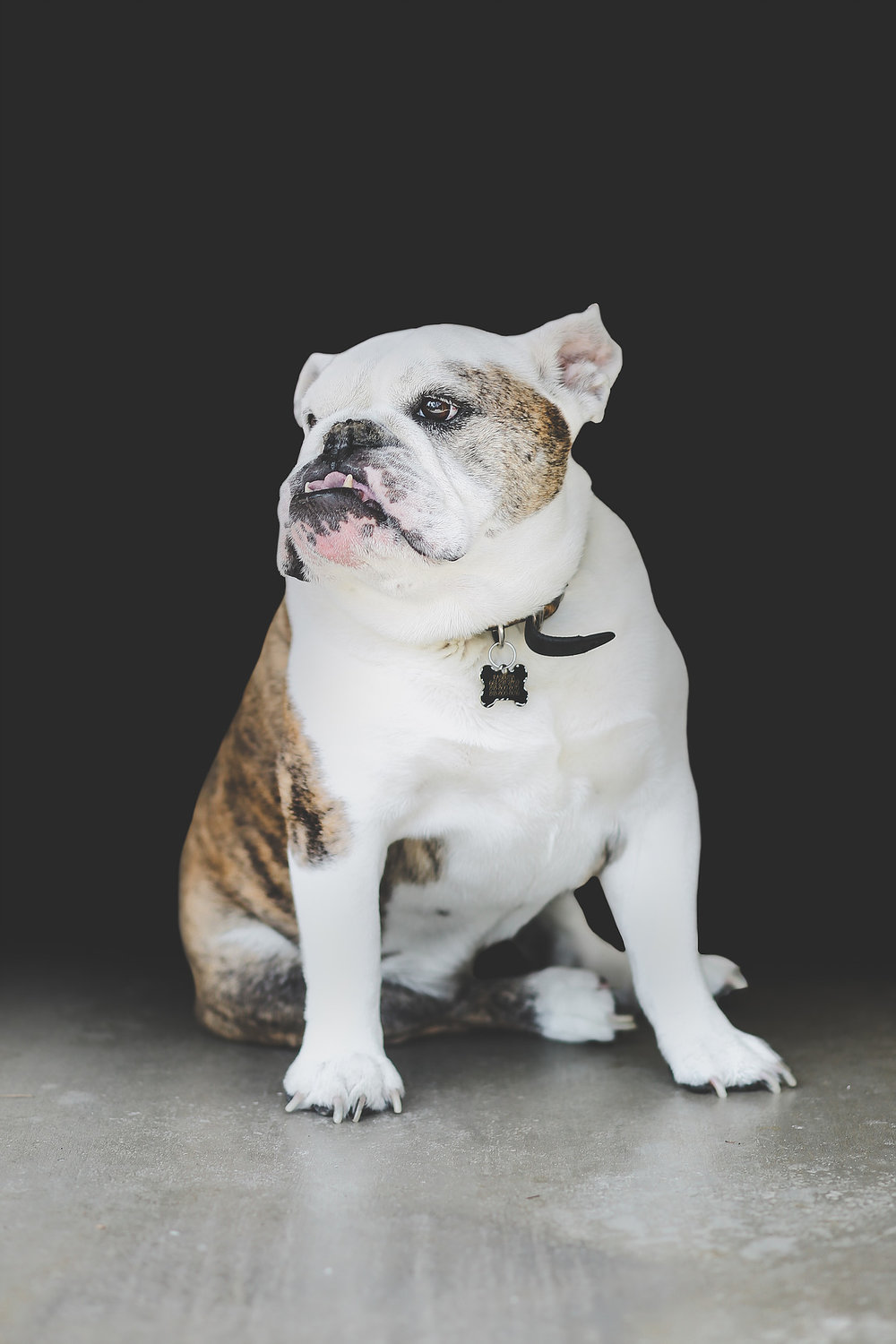 sara shier photography English bulldog