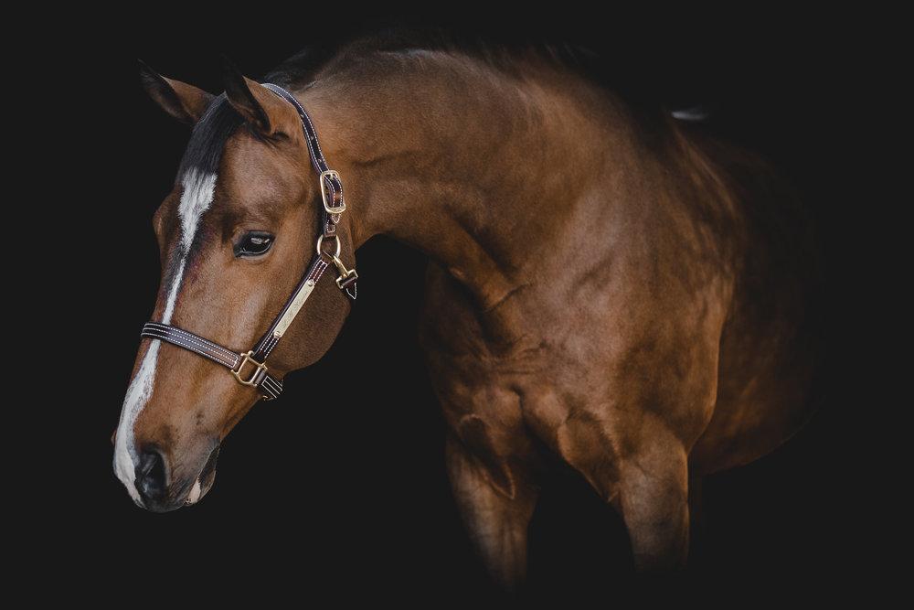 Black Background Equine Horse Portraits Sara Shier Photography