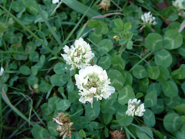 Services Weed 01 Clover.jpg