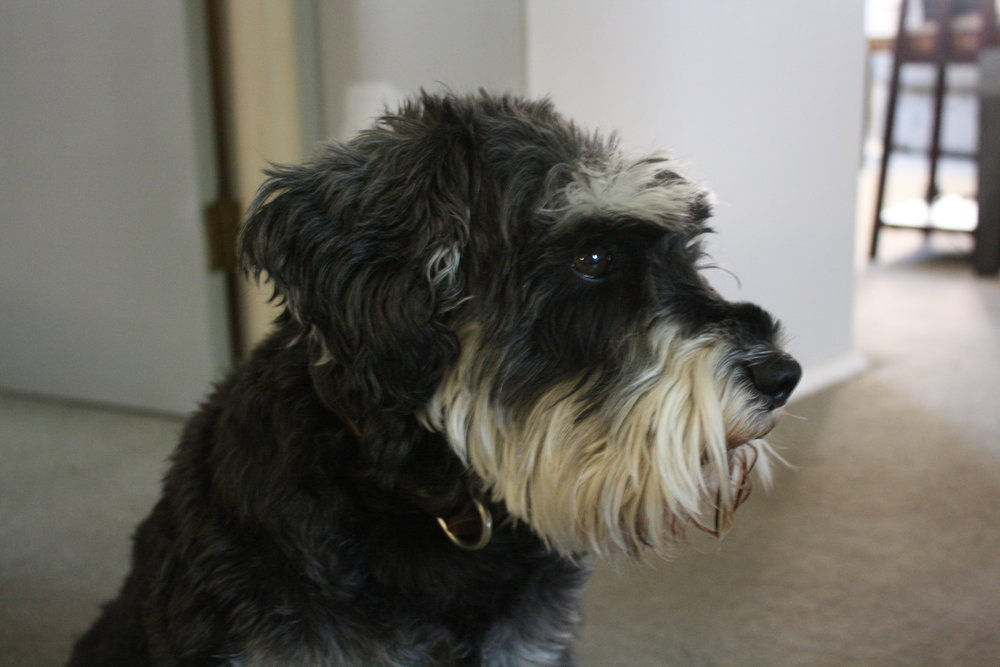 Jake - I am a 6 year old mini-schnauzer with a passion for food, snuggles and exploration. While living in a bus is a new experience for me, I have traveled around the country with my mama, protecting her on our adventures for years. I'm a bit neurotic, but I think my glorious eyebrows and beard make up for it.