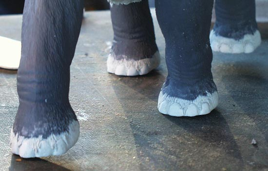 During research, I read that mammoths only had 4 toes whereas modern elephants have five. Naturally the kit had five. In the end, it was a good thing as I could make the toes protrude a bit and add bits of hair hanging over and between them.
