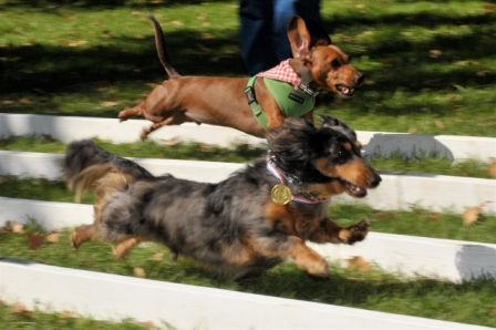 Racing doxie.JPG
