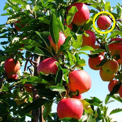 Apples-minimized.jpg