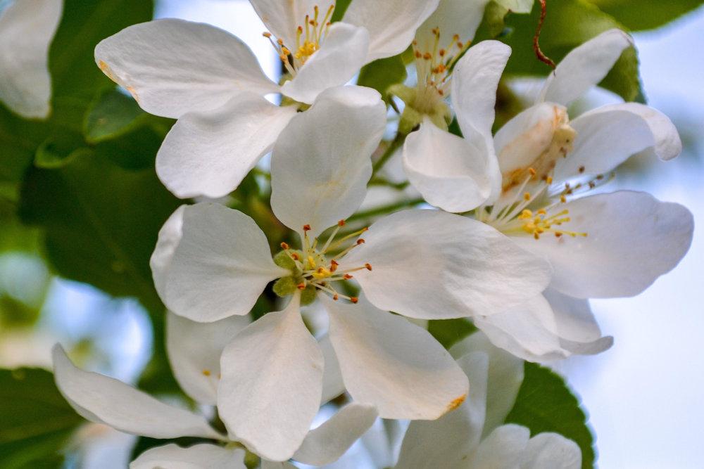 NB Apple Blossoms
