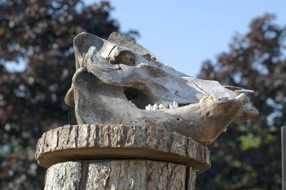 pig-skull.jpg