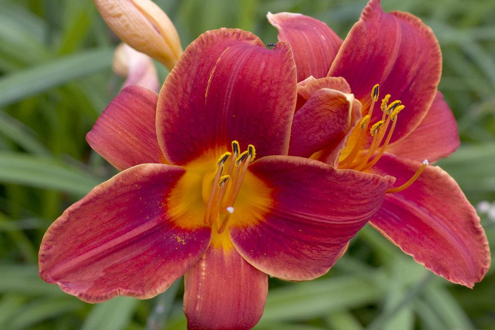 red-orange-lilies.jpg