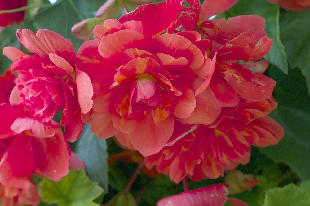 pretty-red-orange-roses.jpg