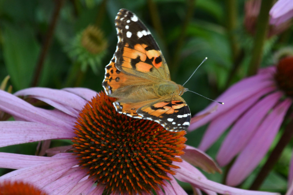 butterfly-on-coneflower.jpg