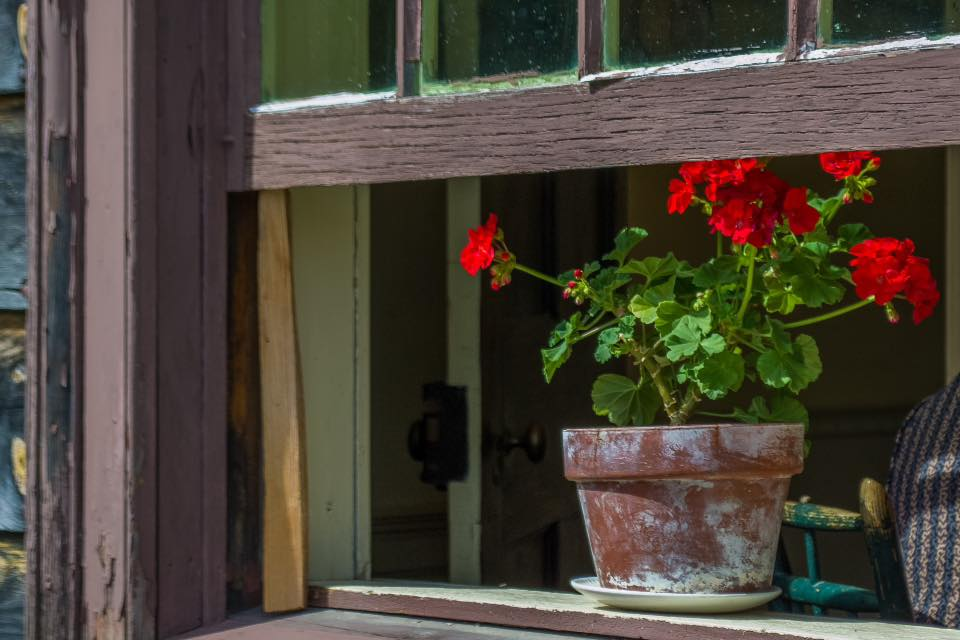 geraniums-open-window-2016.jpg