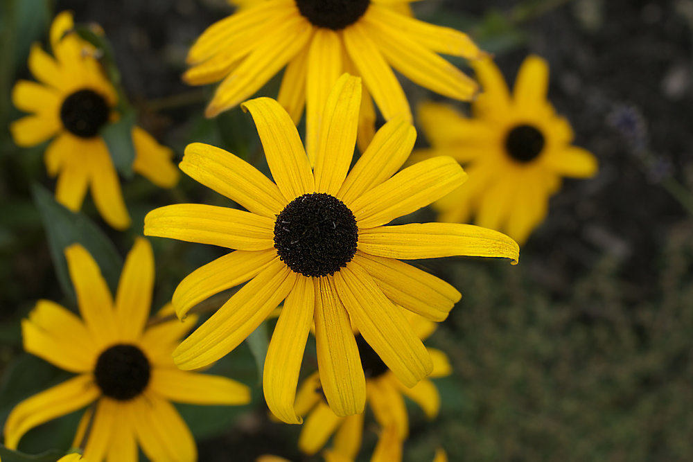 black-eyed-susans.jpg