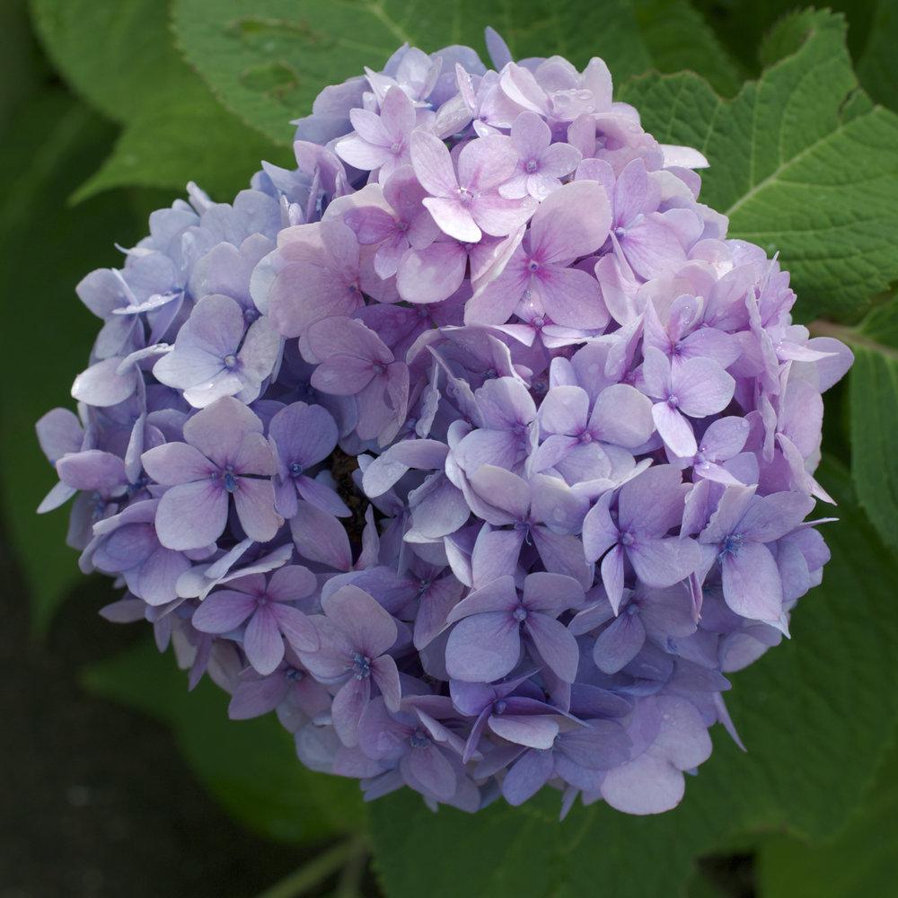 peri-winkle-blue-hydrangea.jpg