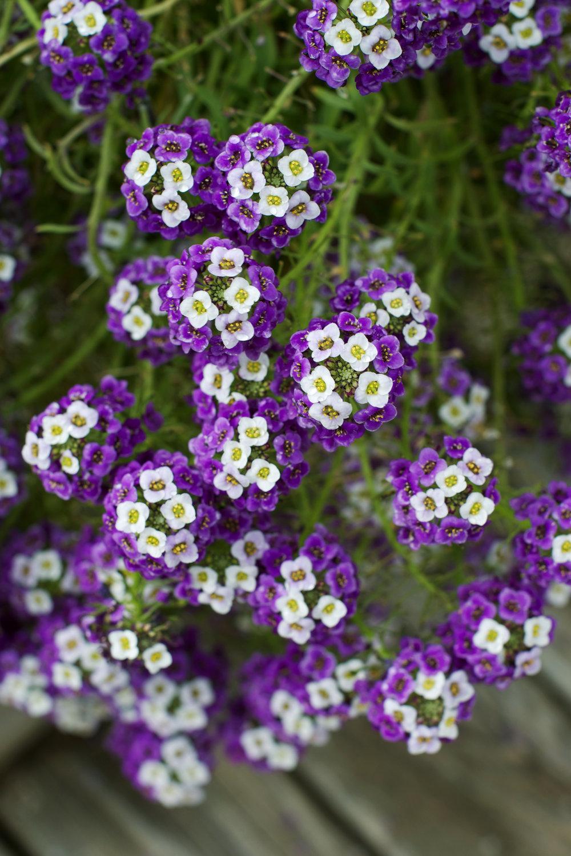pretty-tiny-purple-and-white-flowers.jpg
