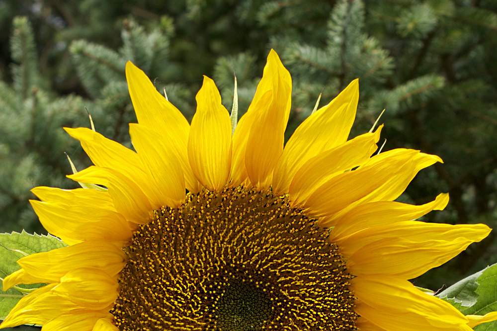 sunflower-half-face-greenery.jpg