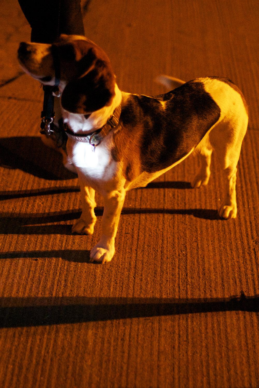 beagle-collar-light.jpg