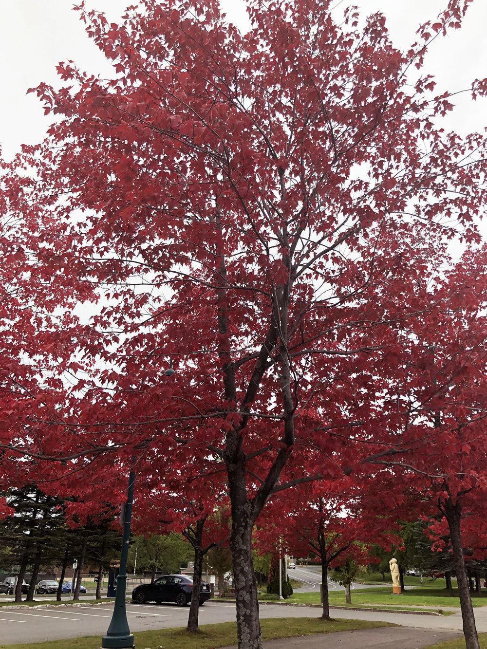 red-maple-tree.jpg
