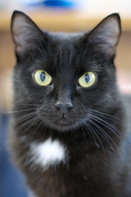 beautiful-poser-white-spot-black-cat.jpg