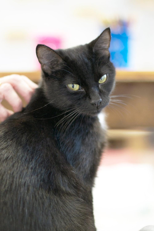 sweet-black-sitting-cat-being-patted.jpg