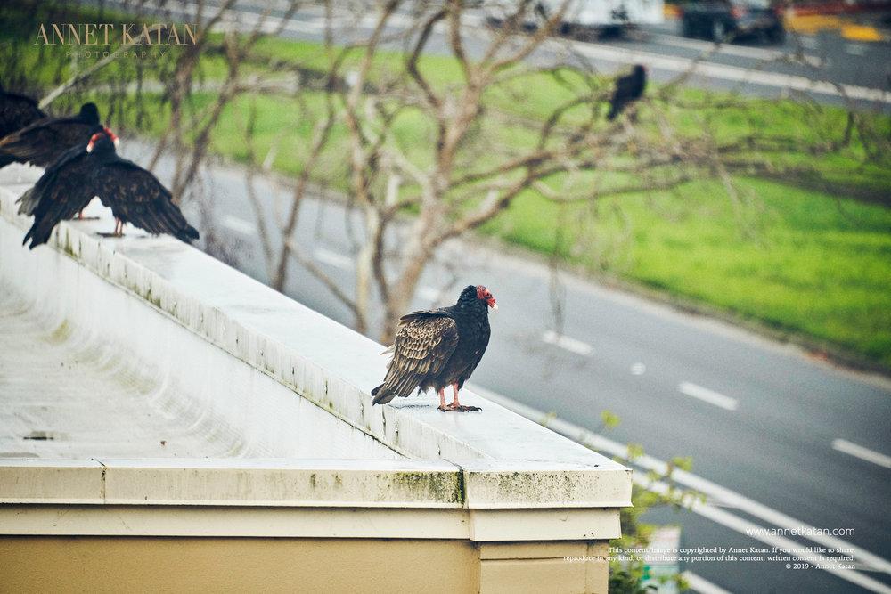 Condors_006.jpg