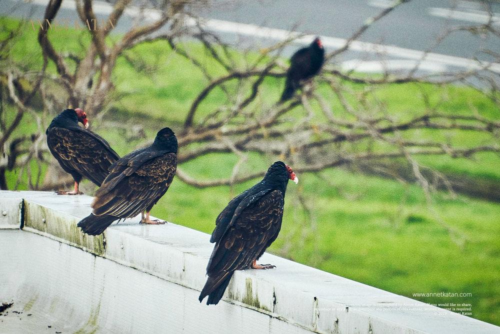 Condors_014.jpg
