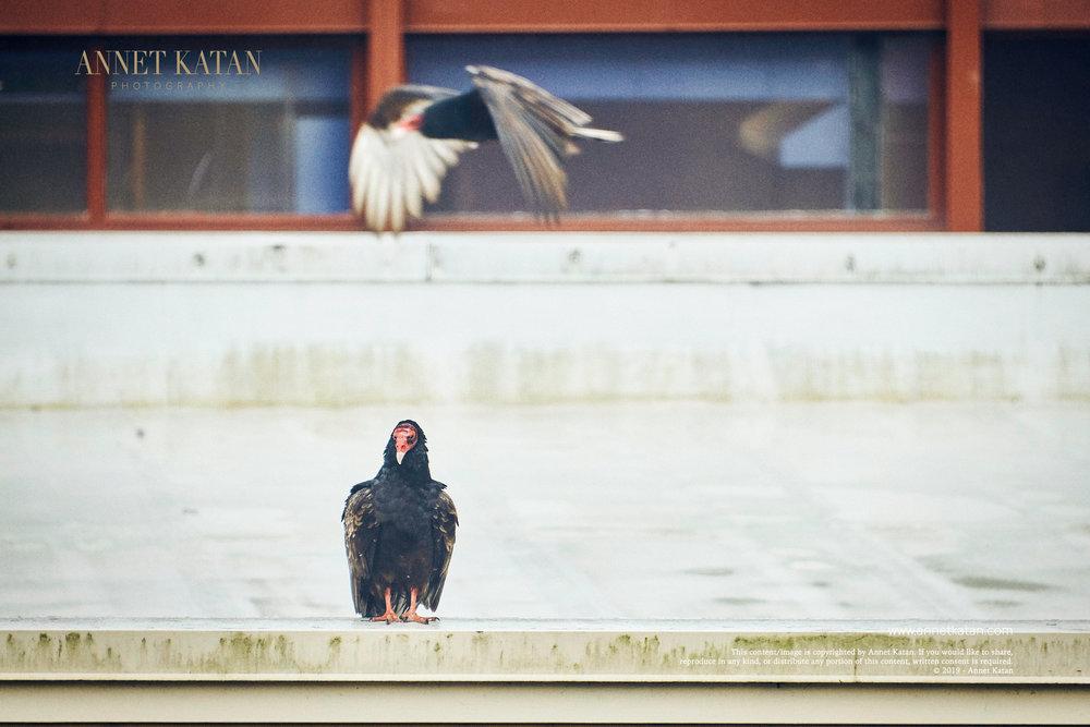 Condors_030.jpg