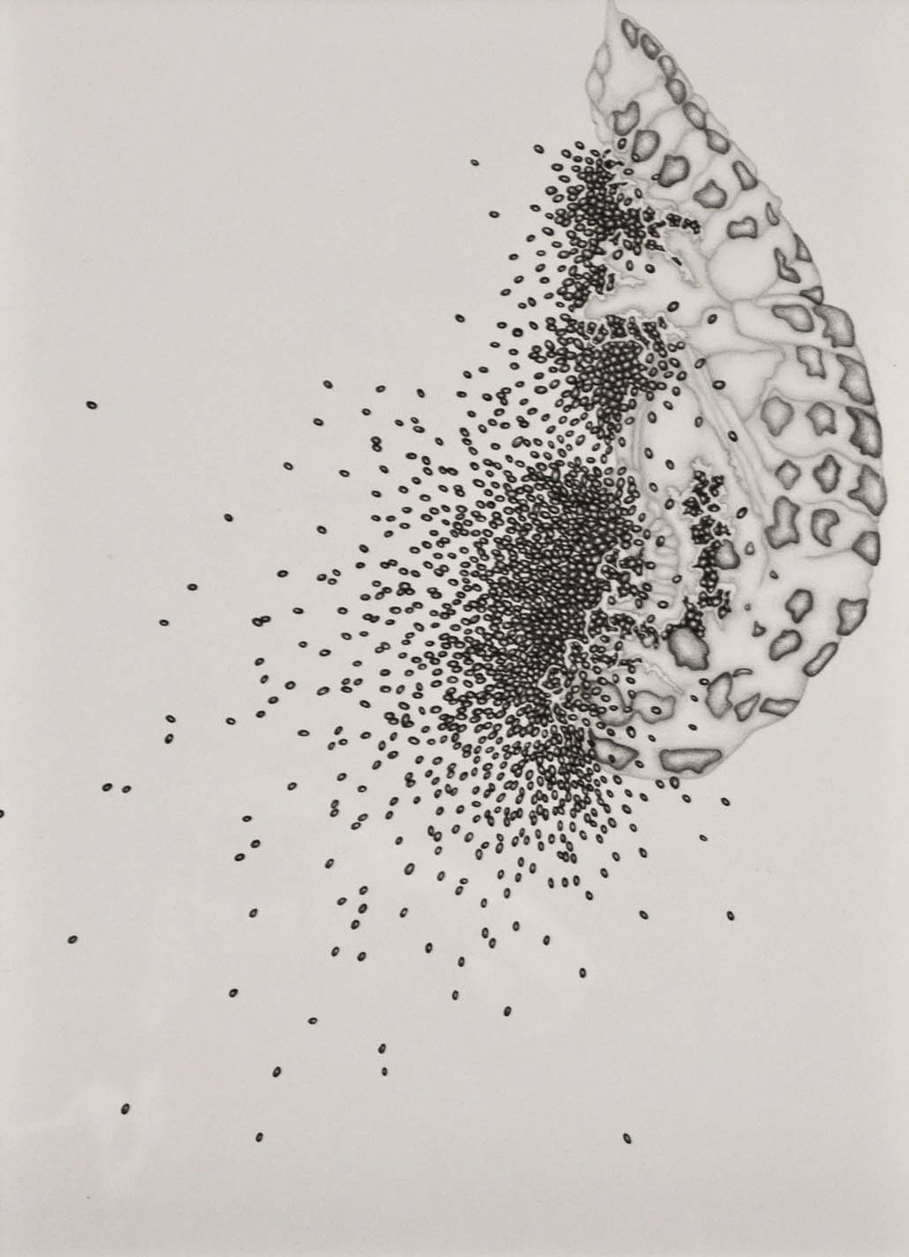 Chrysalis 002,  2013. 50cmx35cm. Pencil on Fabriano paper.