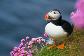 Puffin_Orkney.png