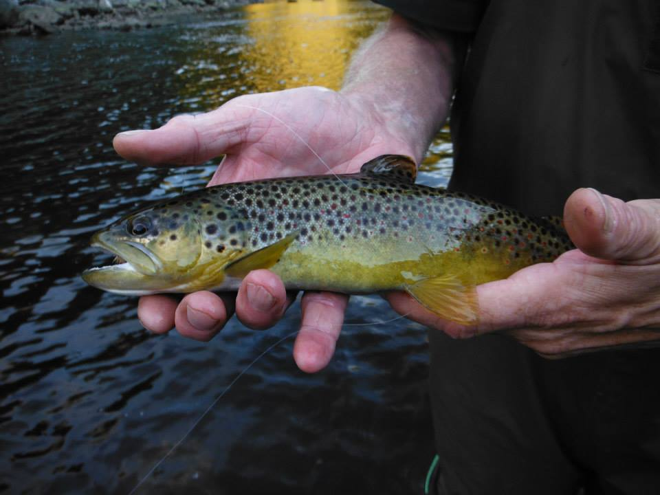 pheasant-tail-tours-trout-guide-brown-trout-deerfield-river-wild.jpg