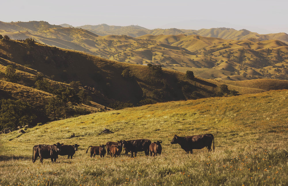 Angus cattle grazing on our Rancheria Ranch