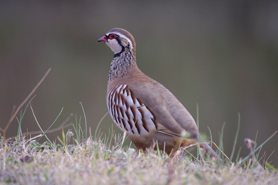 Scottish Game-Partridge 6x4-2.jpg