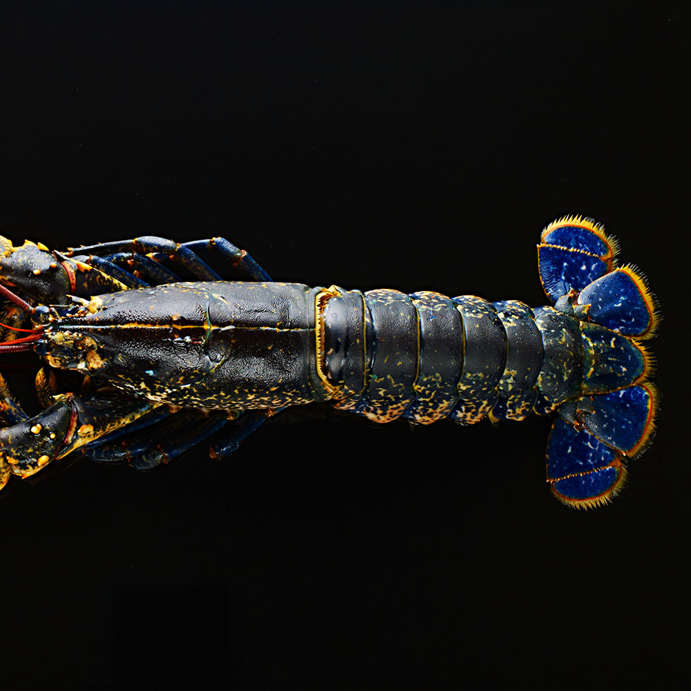 Blue lobster from Scotland