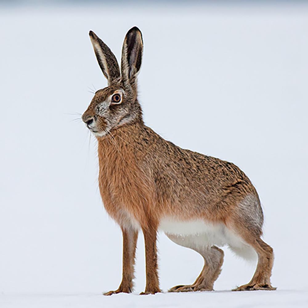Scottish Game Hare-1000.jpg