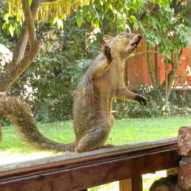 "I am proud to unveil the first piece from my new squirrel-window-licking series, this one titled, ""Squirrel Licking the Window, 1."" #squirrels #squirrelsofinstagram #fineartphotography #naturephotography #nationalgeographic #missedmycalling #animalphotography #squirrelphotography"