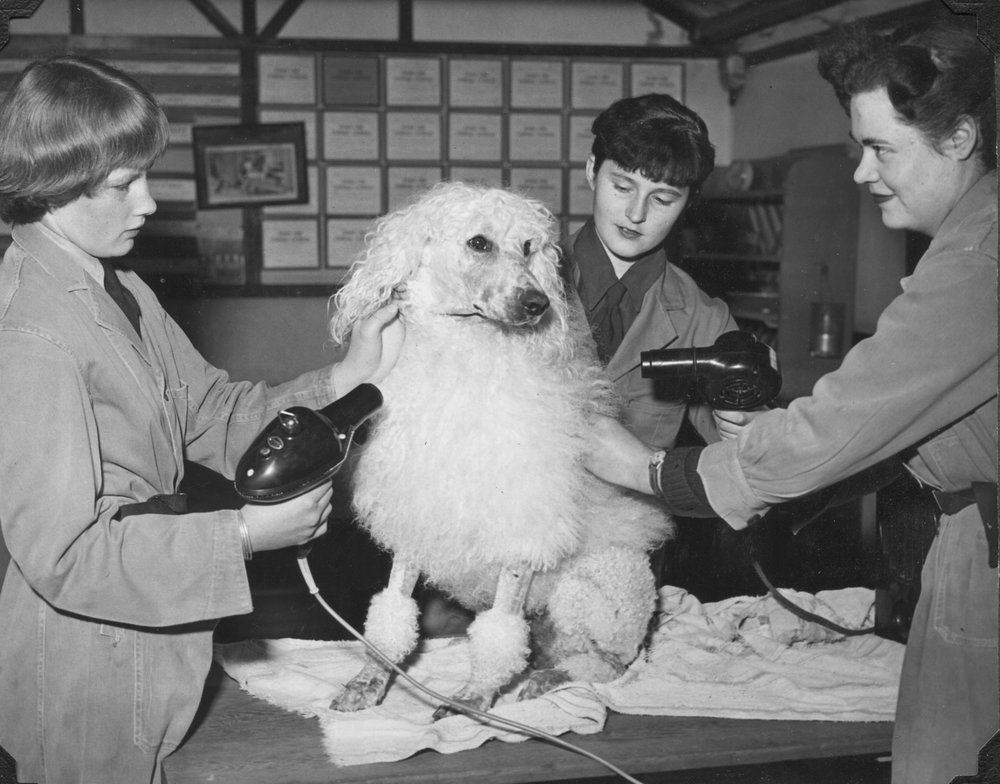 Doggy blow-dry, Vulcan Kennels, 1953